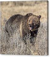 Roaring Grizzly Canvas Print
