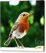 Robin Bird Photograph Canvas Print