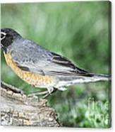 Robin Eating Mealworm Canvas Print