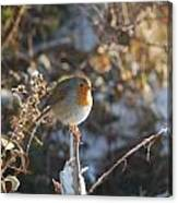Robin In Rays Canvas Print