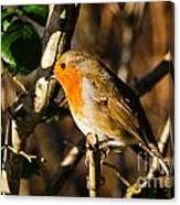 Robin In The Hedgerow Canvas Print