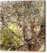 Robin Perched On Olive Tree Canvas Print
