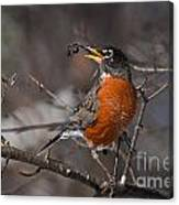 Robin Pictures 100 Canvas Print
