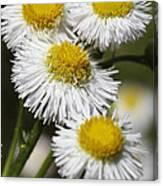 Robin's Plantain Wildflowers - Erigeron Pulchellus Canvas Print