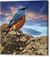 Rock Thrush Canvas Print