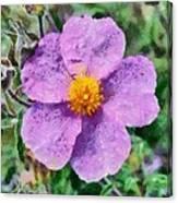 Rockrose Wild Flower Canvas Print