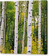 Rocky Mountain Aspen Forest Canvas Print
