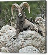 Rocky Mountain Big Horn Canvas Print