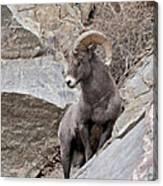 Rocky Mountain Big Horn Sheep Ram Canvas Print