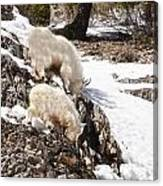 Rocky Mountain Goats - Mother And Baby Canvas Print