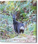 Roe Buck In Woodland Canvas Print