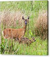 Roe Deer Capreolus Capreolus With Two Fawns Canvas Print