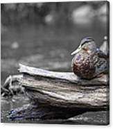Rogue River Duck Canvas Print