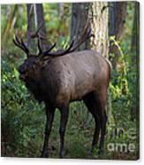 Roosevelt Elk Bugling Canvas Print