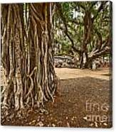 Roots - Banyan Tree Park In Maui Canvas Print