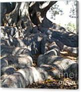 Roots Of Large Fig Tree Canvas Print