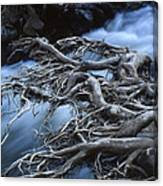 Roots Over Ozark Stream Canvas Print