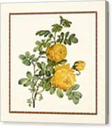 Rosa Sulfurea -yellow Rose  Square Canvas Print