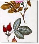 Rosa Villosa Canvas Print