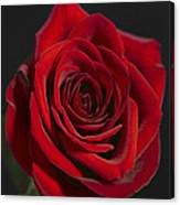 Rose 11 Canvas Print