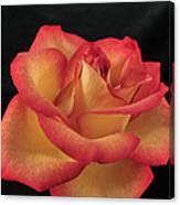 Rose 50 Canvas Print