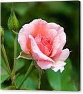 Rose And Raindrops Canvas Print