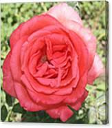 Rose At Clark Gardens Canvas Print
