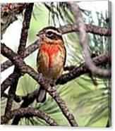 Rose-breasted Grosbeak On Pine Tree Canvas Print