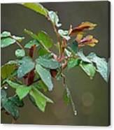 Rose Bush Rain Canvas Print