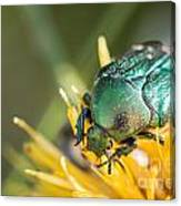 Rose Chafer Canvas Print