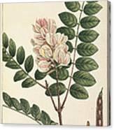 Rose Flowering Locust Canvas Print