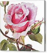Watercolor Of Pink Rose Grace Canvas Print