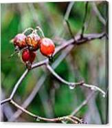 Rose Hip Wet Canvas Print