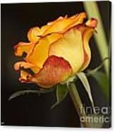 Rose Canvas Print