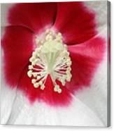 Rose Mallow - Honeymoon White With Eye 03 Canvas Print
