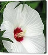 Rose Mallow - Honeymoon White With Eye 05 Canvas Print