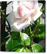 Rose Named Pearl Canvas Print