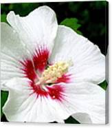 Rose Of Sharon # 1 Canvas Print