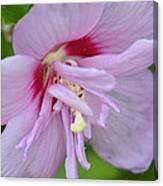 Rose Of Sharon 14-4 Canvas Print