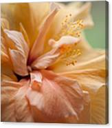 Rose Of Sharon. Hibiscus Canvas Print