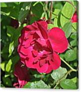 Rose On The Vine Canvas Print