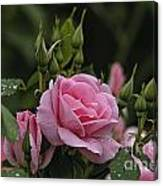 Rose Pictures 328 Canvas Print