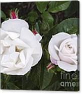 Rose (rosa 'pearl Drift') Canvas Print