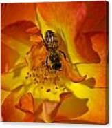 Rose With Bee Canvas Print