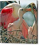 Roseate Spoonbill Feeding Young At Nest Canvas Print