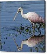 Roseate Spoonbill Hunting Canvas Print