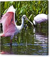 Roseate Spoonbill No.2 Canvas Print