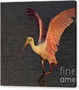 Roseate Spoonbill Photograph Canvas Print