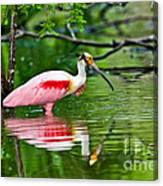 Roseate Spoonbill Wading Canvas Print
