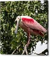 Roseate Spoonbill  What Are You Looking At 2 Canvas Print